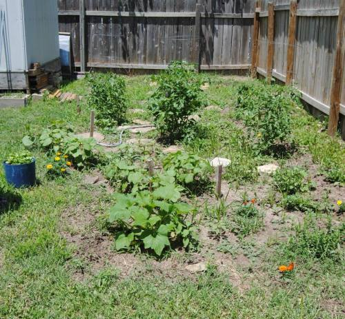 The rest of the garden is growing too. The tomato plants are looking good and filling out so nice. We already have jalapeno's hanging on some of the plants don't even look like they could hold them on their branches. We had them do the same thing last year so I'm sure they will grow bigger and bushier as the days go by.