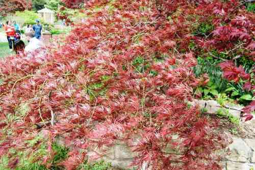 This Japanese maple was so beautiful.